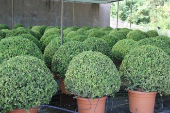 "Buxus Microphylla ""Faulkner"" Bola"