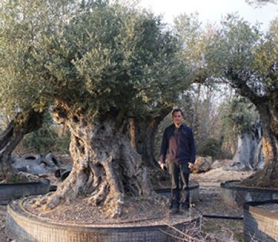 We are specialists in olive trees
